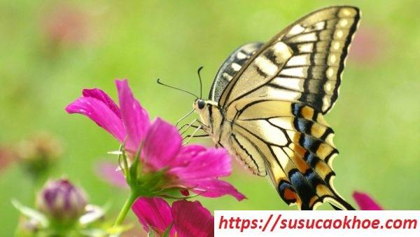 Nằm mơ thấy bướm là điềm gì, đánh con gì?