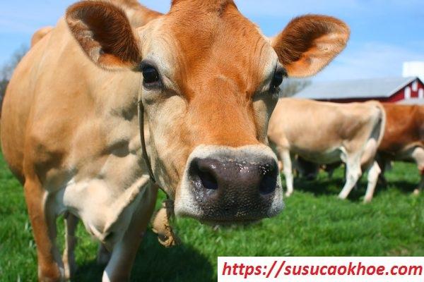 Nằm mơ thấy con bò là điềm gì, đánh con gì?