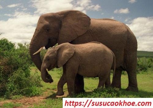 Nằm mơ thấy con voi là điềm gì, đánh con gì?